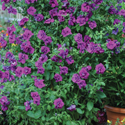 Petunia 'Purple Rocket' - 1 x Petunia 'Purple Rocket' Collection