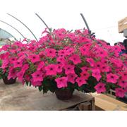 Petunia surfinia 'Sumo' - 10 petunia Postiplug plants