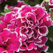 Petunia 'Frills and Spills Anna' - 10 petunia Postiplug plants