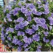 Petunia 'Frills and Spills™ Maria' - 10 petunia Postiplug plants