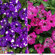Petunia 'Sky Collection' - 20 petunia postiplug plants - 10 of each variety