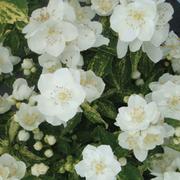 Philadelphus Innocence - 1 x 3.6 litre potted philadelphus plant