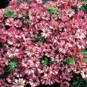 Phlox hybrida compacta 'Peppermint Candy' - 1 packet (80 phlox seeds)