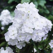 Phlox paniculata 'David' (Large Plant) - 1 x 2 litre potted phlox plant