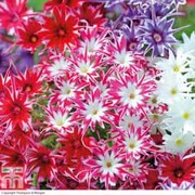 Phlox 'Pop Stars Mixed' (Garden Ready) - 30 phlox garden ready plants