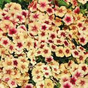 Phlox drummondii 'Cherry Caromel' - 1 packet (200 phlox seeds)