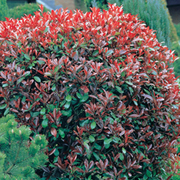 Photinia x fraseri 'Red Robin' - 1 x 2 litre potted photinia plant