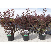 Physocarpus opulifolius 'Summer Wine' (Large Plant) - 1 x 3.6 litre potted physocarpus plant