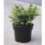 Picea glauca 'Barus' (Large Plant) - 1 x 2 litre potted picea plant