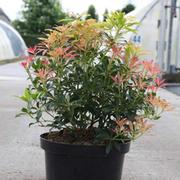 Pieris 'Forest Flame' (Large Plant) - 1 x 3 litre potted pieris plant