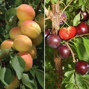 Plum/Cot Collection - 2 maiden trees - 1 of each variety