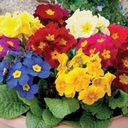 Polyanthus eliator 'Crescendo® Mixed' F1 Hybrid - 36 polyanthus plug plants