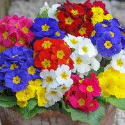 Polyanthus 'Most Scented Mix' - 36 polyanthus plug plants