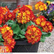 Polyanthus 'Firecracker' - 12 polyanthus plug plants