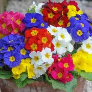 Polyanthus 'Most Scented Mixed' (Garden Ready) - 30 polyanthus garden ready plants