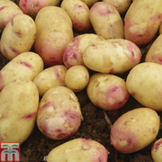 Potato 'Carolus' - 1kg (16-18 potato tubers)