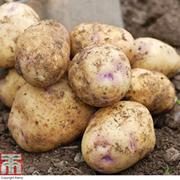 Potato 'Kestrel' - 1kg of potato tubers