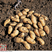 Potato 'Belle de Fontenay' - 1kg (16-18 potato tubers)