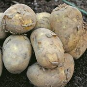 Potato 'International Kidney' - 20 potato tubers