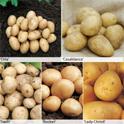 Potato 'Baby New Collection' - 50 potato tubers - 10 of each variety