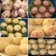 Potato 'Exhibitor Collection' - 60 exhibit grade potato tubers - 10 of each variety + 20 exhibitor bags