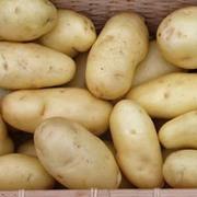 Potato 'Kifli' - 20 potato tubers