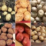 Potato 'Favourite Earlies Collection B' - 60 potato tubers - 10 of each variety