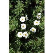 Potentilla fruticosa 'Cr�me Brule' First Edition (Large Plant) - 1 x 3.6 litre potted potentilla plant