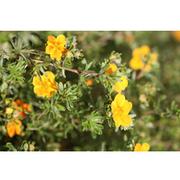 Potentilla fruticosa 'Hopleys Orange' (Large Plant) - 1 x 3.6 litre potted potentilla plant