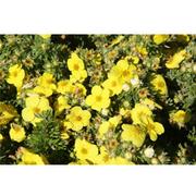 Potentilla fruticosa 'Kobold' (Large Plant) - 1 x 3.6 litre potted potentilla plant