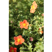 Potentilla fruticosa 'Marian Red Robin' (Large Plant) - 1 x 3.6 litre potted potentilla plant