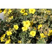 Potentilla fruticosa 'Sommerflor' (Large Plant) - 1 x 3.6 litre potted potentilla plant