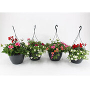 Pre-Planted Water Reservoir Hanging Baskets - 2 x pre-planted hanging baskets with 1.5L water reservoir
