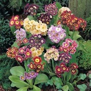 Auricula 'Douglas Prize Mix' - 1 packet (90 auricula seeds)