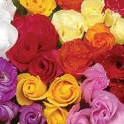 Primrose 'Petticoat Mixed' - 36 primrose plug plants