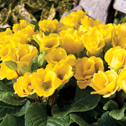 Primrose 'Cupid Lemon' - 36 primrose plug plants