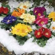 Primrose 'Husky Mixed' (Garden Ready) - 30 primrose garden ready plants