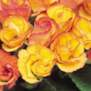 Primrose 'Primlet Sunrise' - 12 primrose plug plants