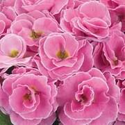 Primrose 'Palazzo Pink' - 3 primrose jumbo plug plants