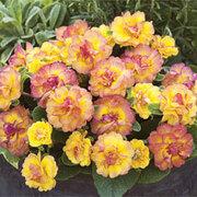 Primrose 'Belarina Nectarine' - 3 primrose jumbo plug plants