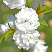 Prunus glandulosa 'Alba Plena' (Large Plant) - 1 x 10.5cm potted prunus plant