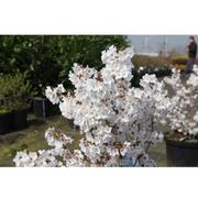 Prunus nipponica 'Brilliant' (Large Plant) - 1 x 3.6 litre potted prunus plant