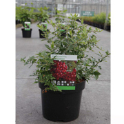 Pyracantha coccinea 'Red Cushion' (Large Plant) - 1 x 3.6 litre potted pyracantha plant