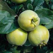 Quince 'Vranja' (patio) - 1 patio quince tree