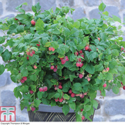 Raspberry 'Ruby Beauty'® (Summer Fruiting) - 1 x 9cm potted raspberry plant
