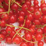 Redcurrant 'Rovada' - 1 bare root redcurrant plant