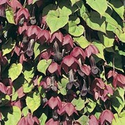 Rhodochiton atrosanguineum - 1 packet (10 rhodochiton atrosanguineum seeds)