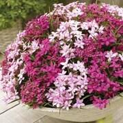 Rose Lily Grass - 1 Rose Lily Grass jumbo plug plant