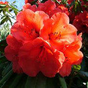 Rhododendron 'Geisha Orange' (Large Plant) - 1 x 2 litre potted rhododendron plant