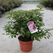 Rhododendron 'Madame Van Hecke' (Large Plant) - 1 x 2 litre potted rhododendron plant